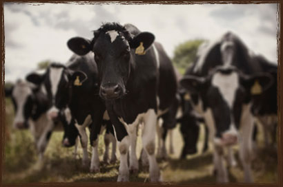 Takanini Dairy Feed